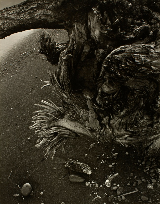 Minor White (American, 1908-1976) 'Tree Root' c. 1939