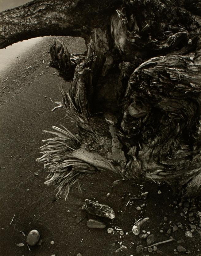 Minor White(American, 1908-1976) 'Tree Root' c. 1939