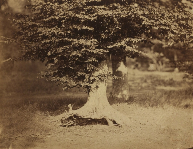 Gustave Le Gray. 'Beech Tree, Forest of Fontainbleau' c. 1856