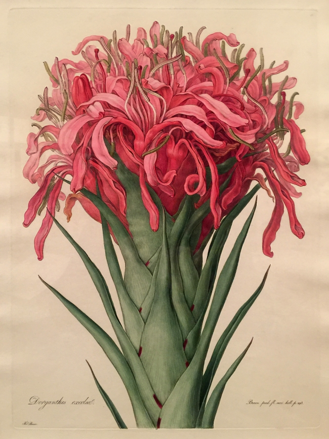 Ferdinand Bauer (Austria 1760-1826, England 1787-1801, 1805-14, Australia 1801-05) 'Gymea Lily' 1806-13, published 1813 (installation view)