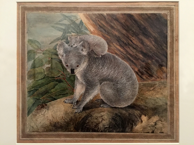 John Lewin (England 1770 - Australia 1819, Australia from 1800) 'Koala and young' 1803