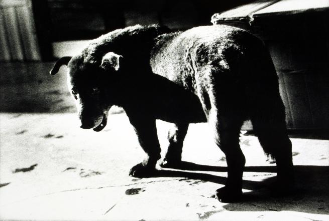 Daidō Moriyama. 'Stray Dog, Misawa' 1971