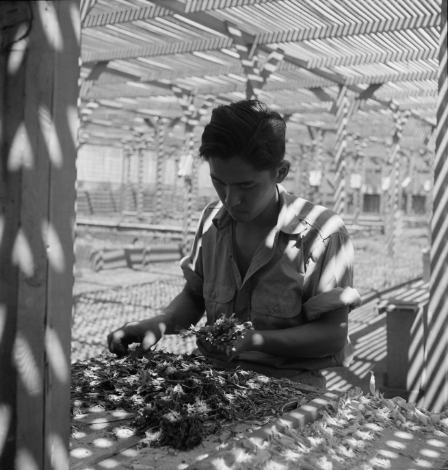 Dorothea Lange. 'Manzanar Relocation Center, Manzanar, California. An evacuee is shown in the lath house sorting seedlings for transplanting' 1942