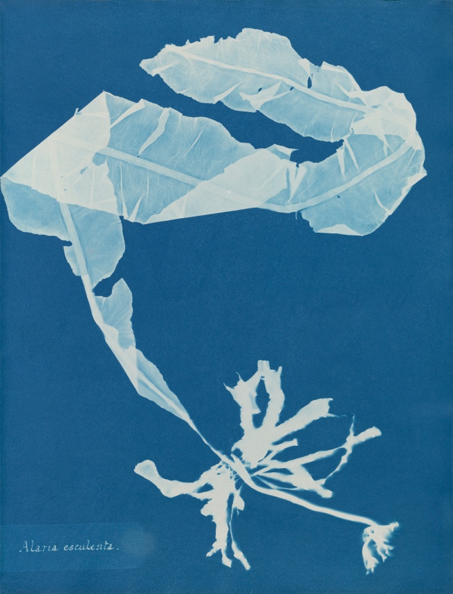 Anna Atkins (1799-1871) 'Alaria esculenta', from Part XII of 'Photographs of British Algae: Cyanotype Impressions' 1849-1850