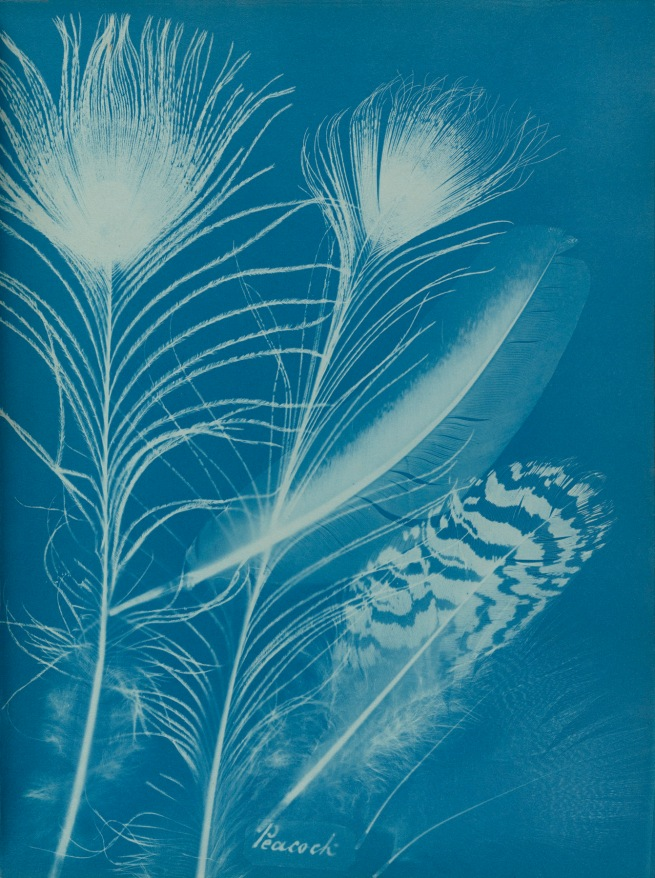 Anna Atkins (1799-1871)and Anne Dixon (1799-1864) 'Peacock', from a presentation album to Henry Dixon 1861
