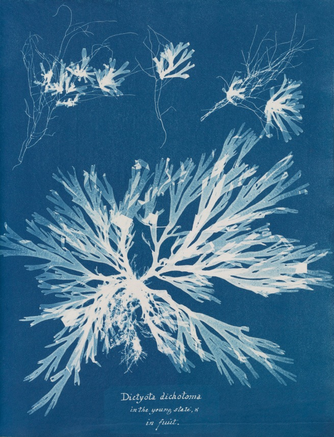 Anna Atkins (1799-1871) 'Dictyota dichotoma, in the young state & in fruit', from Part XI of 'Photographs of British Algae: Cyanotype Impressions' 1849-1850