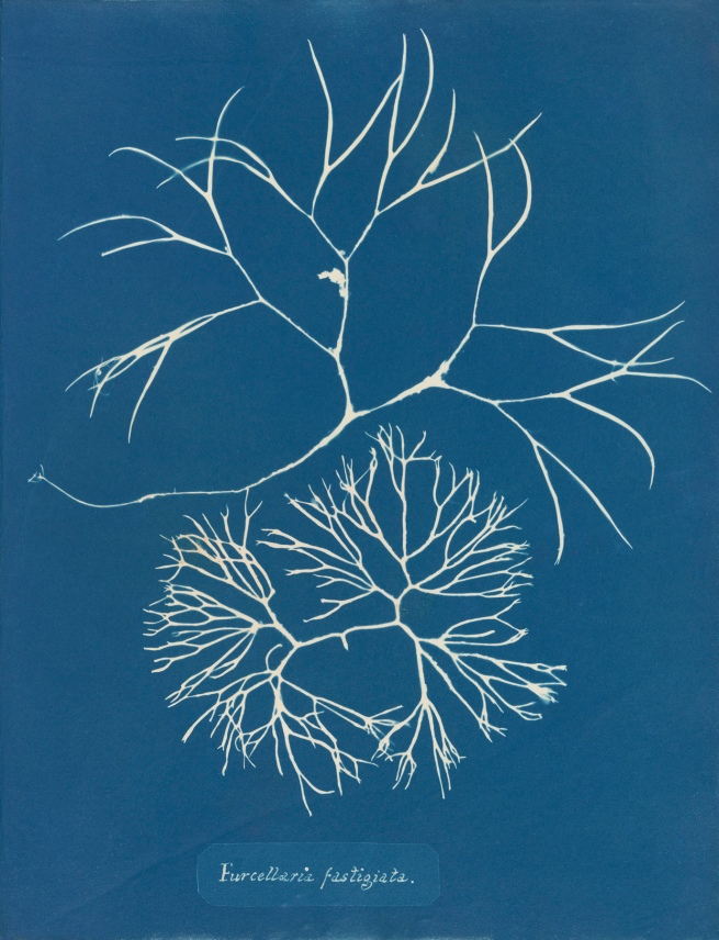 Anna Atkins (1799–1871), 'Furcellaria fastigiata', from Part IV, version 2 of 'Photographs of British Algae: Cyanotype Impressions' 1846