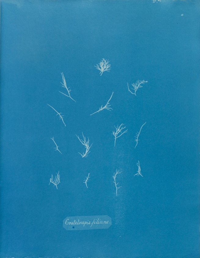Anna Atkins (1799-1871) 'Grateloupia filicina', from Part IX of 'Photographs of British Algae: Cyanotype Impressions' 1848-1849
