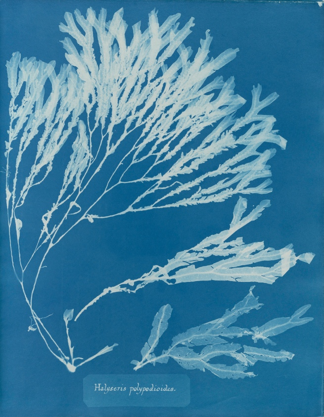 Anna Atkins (1799-1871) 'Halyseris polypodioides', from Part XII of 'Photographs of British Algae: Cyanotype Impressions' 1849-1850