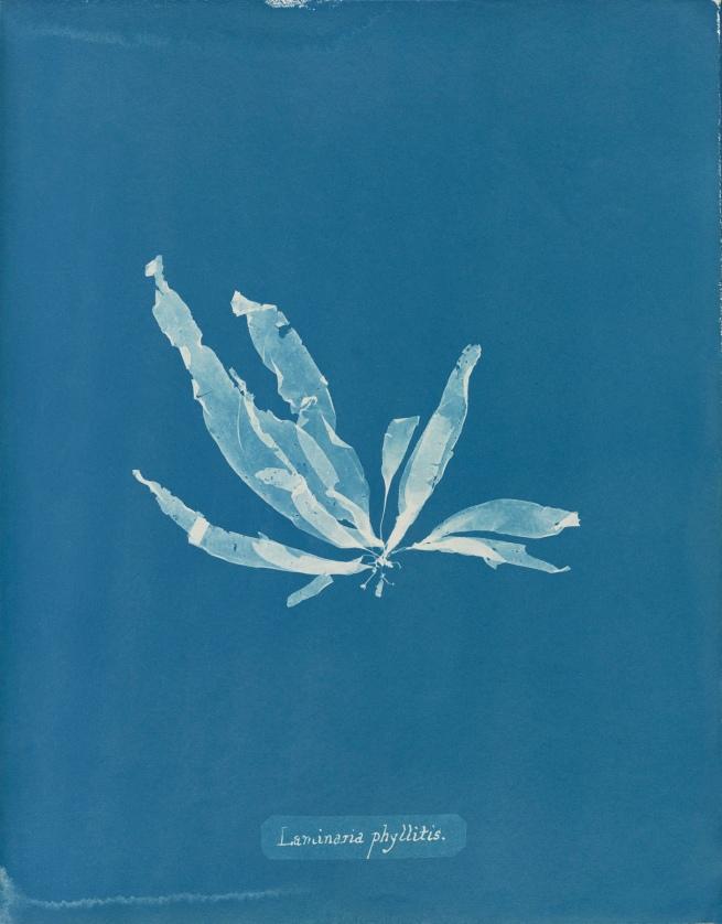 Anna Atkins (1799-1871) 'Laminaria phyllitis', from Part V of 'Photographs of BritishAlgae: Cyanotype Impressions' 1844-1845