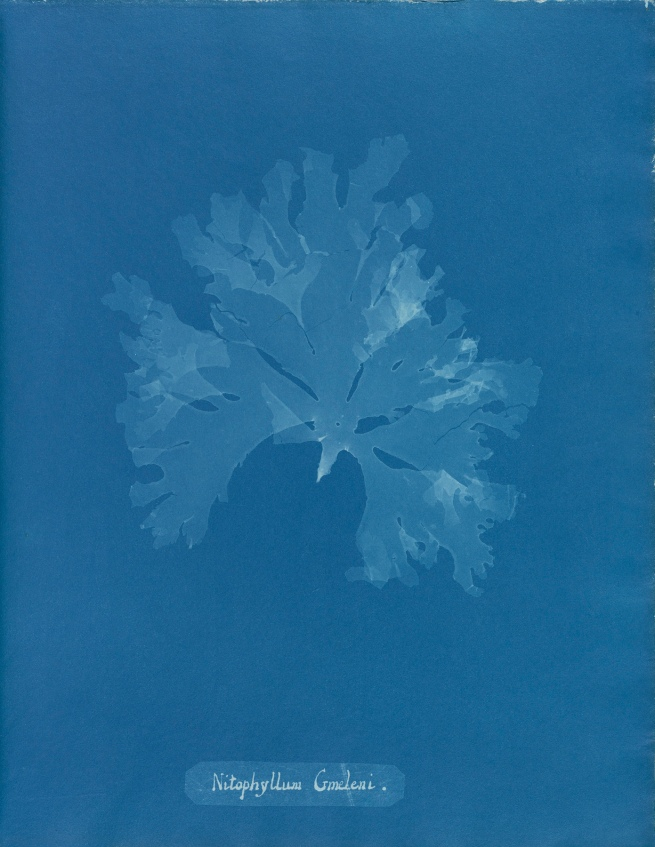 Anna Atkins (1799-1871) 'Nitophyllum gmeleni', from Part XI of 'Photographs of British Algae: Cyanotype Impressions' 1849-1850
