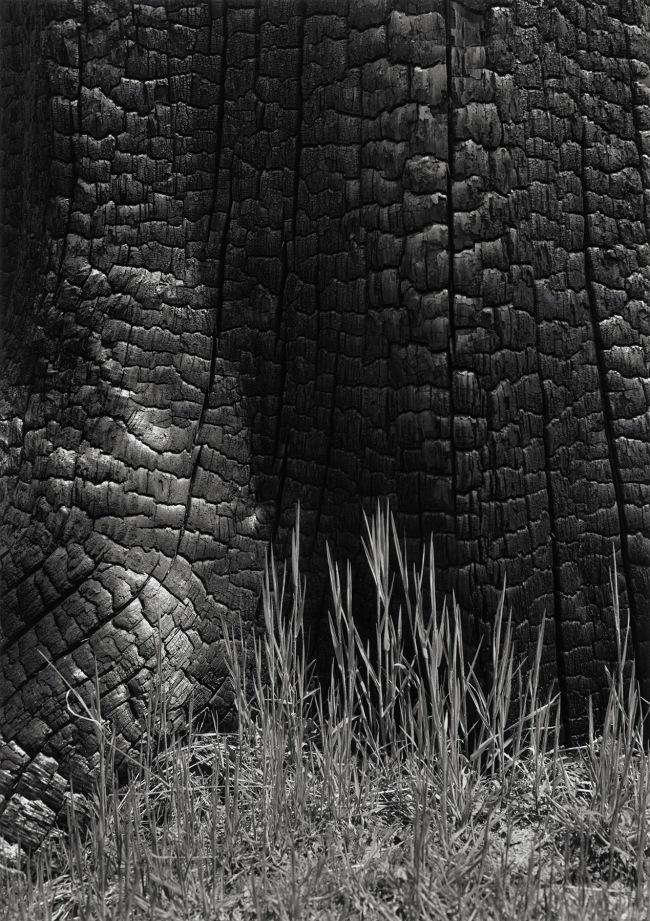Ansel Adams (American, 1902-1984) 'Grass and Burned Stump, Sierra Nevada, California' 1935