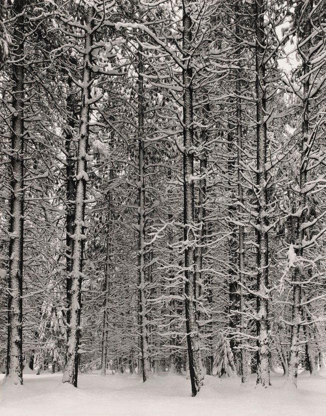 Ansel Adams (American, 1902-1984) 'Pine Forest in Snow, Yosemite National Park' c. 1932