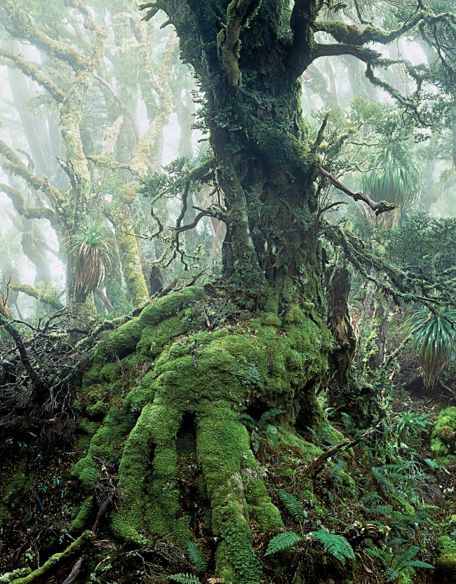 Peter Dombrovskis (Australian, born Germany 1945-96) 'Myrtle tree in rainforest at Mount Anne, Southwest National Park, Tasmania' 1984