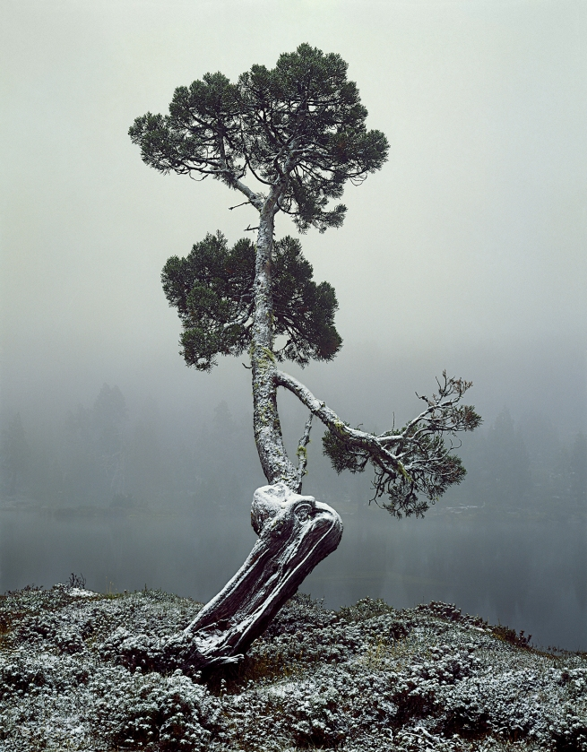 Peter Dombrovskis (Australian, born Germany 1945-96) 'Pencil pine at Pool of Siloam, Walls of Jerusalem National Park, Tasmania' 1982