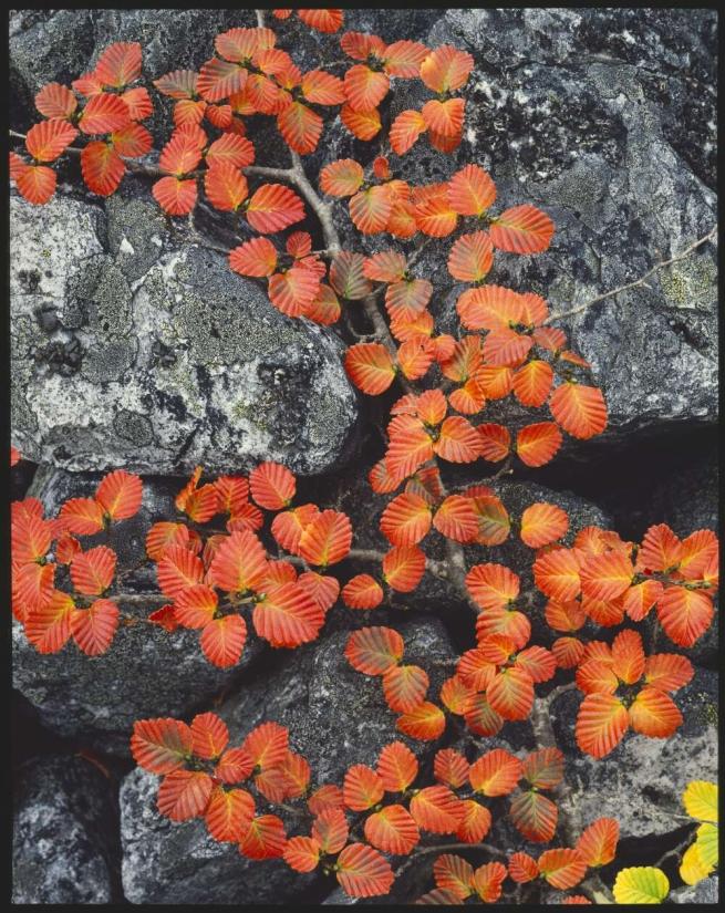 Peter Dombrovskis (Australian, born Germany 1945-96) 'Red phase of deciduous beech, 'Nothofagus gunnii', Cradle Mountain-Lake St. Clair National Park, Tasmania' 1988