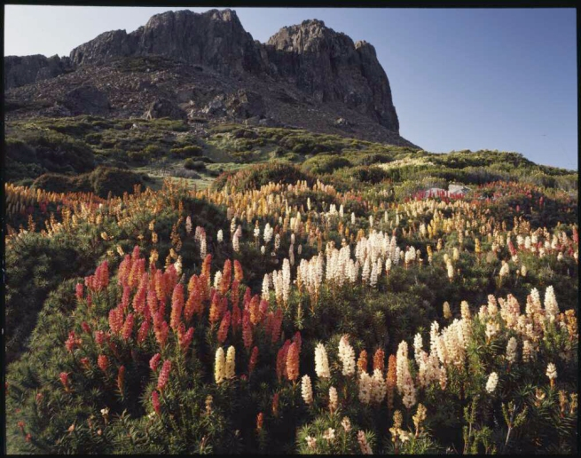 Peter Dombrovskis (Australian, born Germany 1945-96) 'Richea scoparia in bloom below Halls Buttress, Walls of Jerusalem National Park, Tasmania' 1992