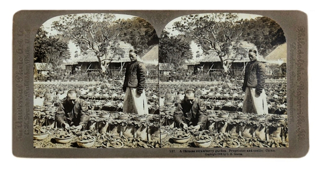 Herbert Ponting (1870-1935) (photographer) The Universal Photo Art Co (C.H. Graves) (publisher) 'A Chinese strawberry garden.Proprietor and coolie. China' c. 1902