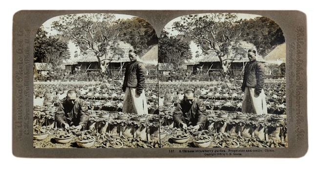 Herbert Ponting (1870-1935) (photographer) The Universal Photo Art Co (C.H. Graves) (publisher) 'A Chinese strawberry garden. Proprietor and coolie. China' c. 1902