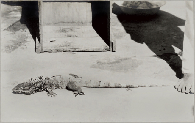 Charles Betts Waite. 'The Iguana' 1901