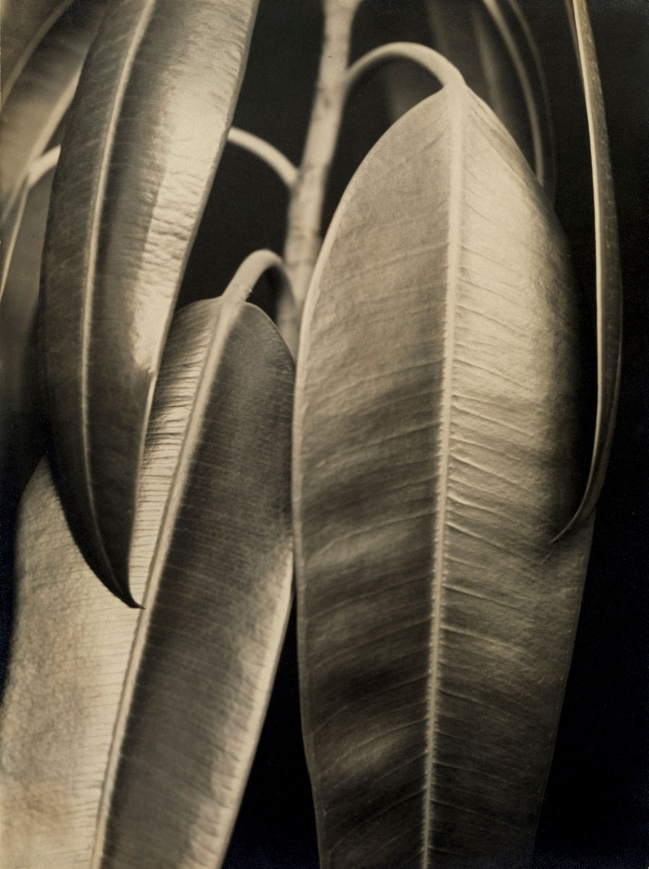 Aenne Biermann (1898-1933) 'Ficus elastica' 1926-28