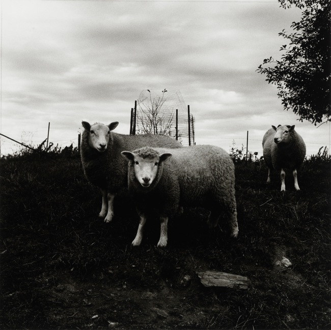 Peter Hujar (American, 1934-1987) 'Sheep, Pennsylvania' 1969