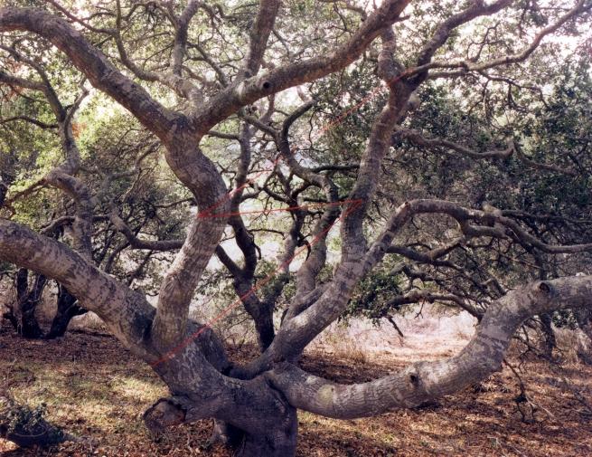 John Pfahl (American, b. 1939) 'Live Oak Lightning, Lompoc, California' 1978