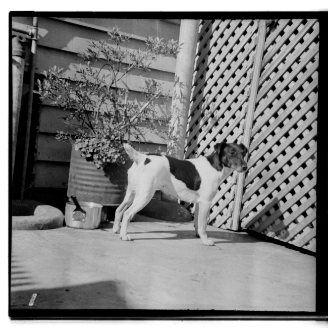 Unknown photographer (Australian) 'Untitled (dog and saucepan)' 1946-47