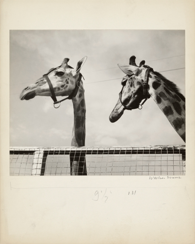 Walker Evans (American, 1903 - 1975) '[Two Giraffes, Circus Winter Quarters, Sarasota]' 1941