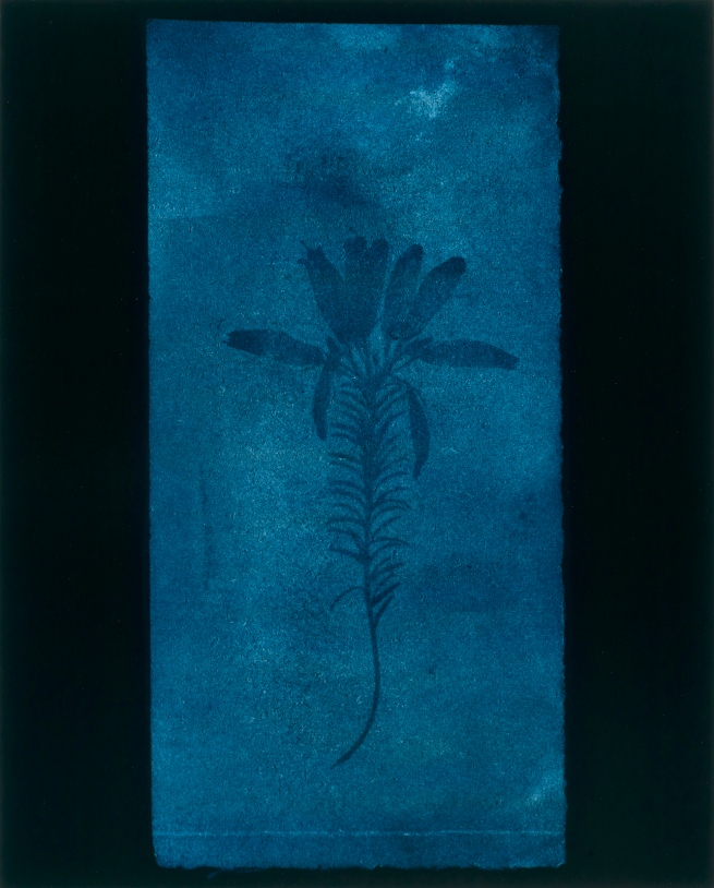 Hiroshi Sugimoto (Japanese, born 1948) 'Botanical Specimen (Erica mutabolis), March 1839' 2009
