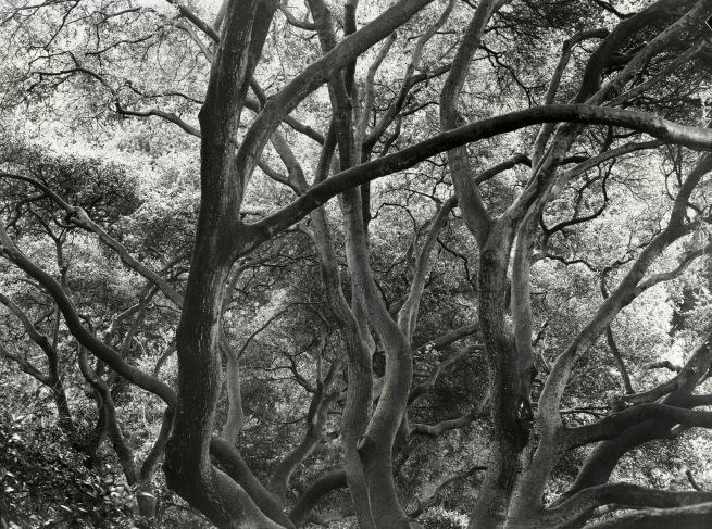 Dorothea Lange (American, 1895-1965) 'Sunlit Oak' c. 1957, printed 1965