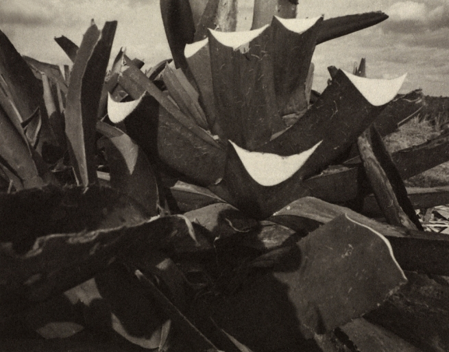 Manuel Álvarez Bravo (Mexican, 1902-2002) '[Wounded Agaves]' Negative 1950; print late 1970s - early 1980s