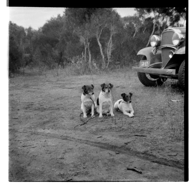 Unknown photographer (Australian) 'Untitled (Three dogs)' 1946-47