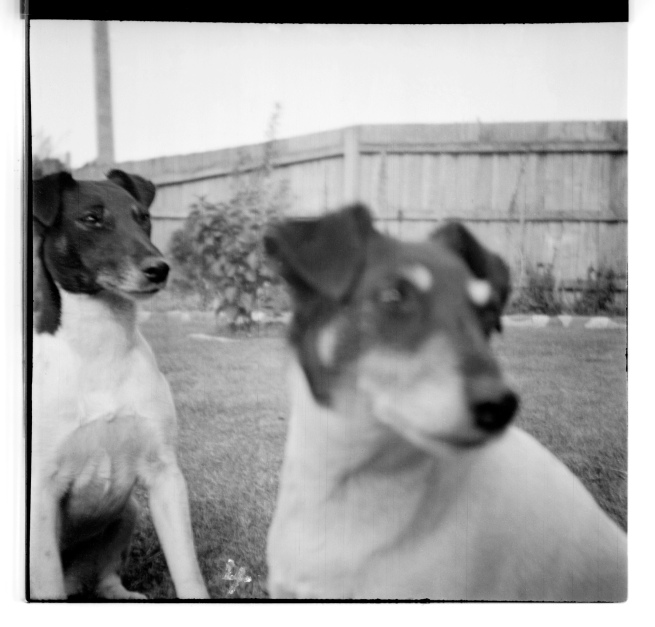 Unknown photographer (Australian) 'Untitled (Two dogs)' 1946-47
