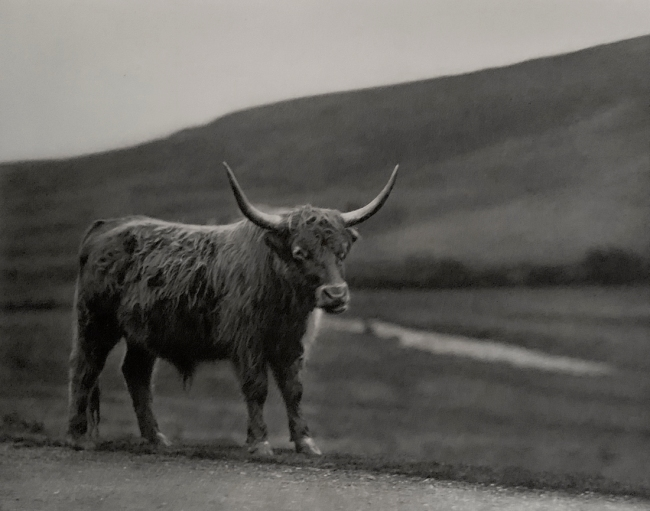 E. O. Hoppé (British, born Germany 1878-1972) 'Highland Cattle, Scotland' 1926