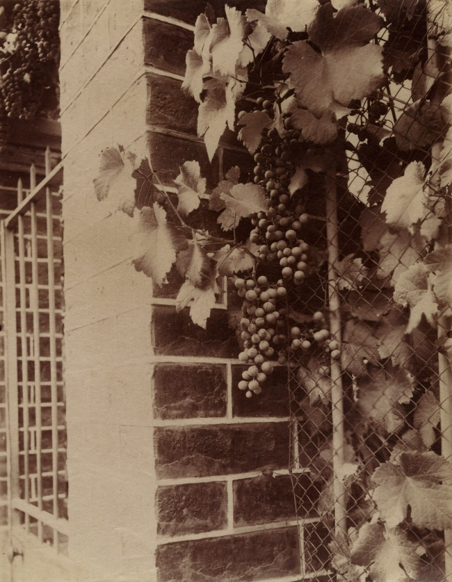Eugène Atget (French, 1857-1927) 'Vigne (Grape Vine)' 1920