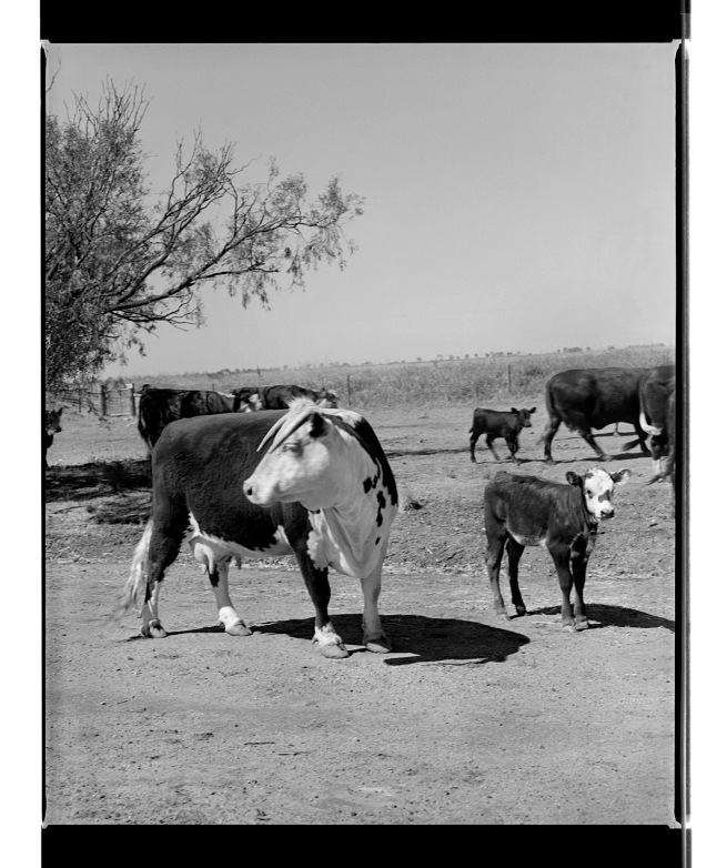 Marcus Bunyan. 'Untitled' from 'Dogs, chickens, cattle' 1994-95