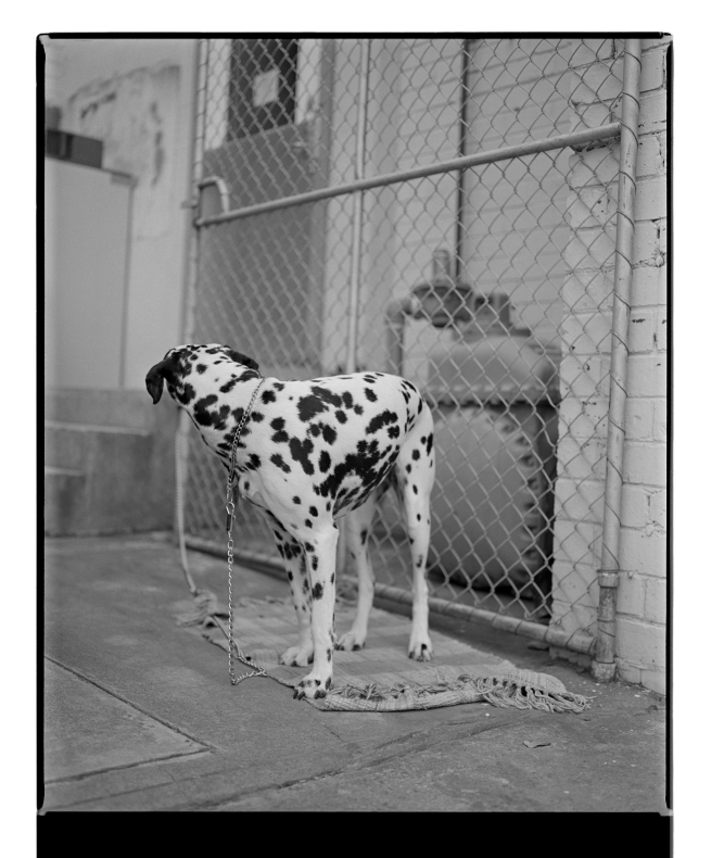 Marcus Bunyan. 'Dalmation' from 'Dogs, chickens, cattle and cows' 1994-95
