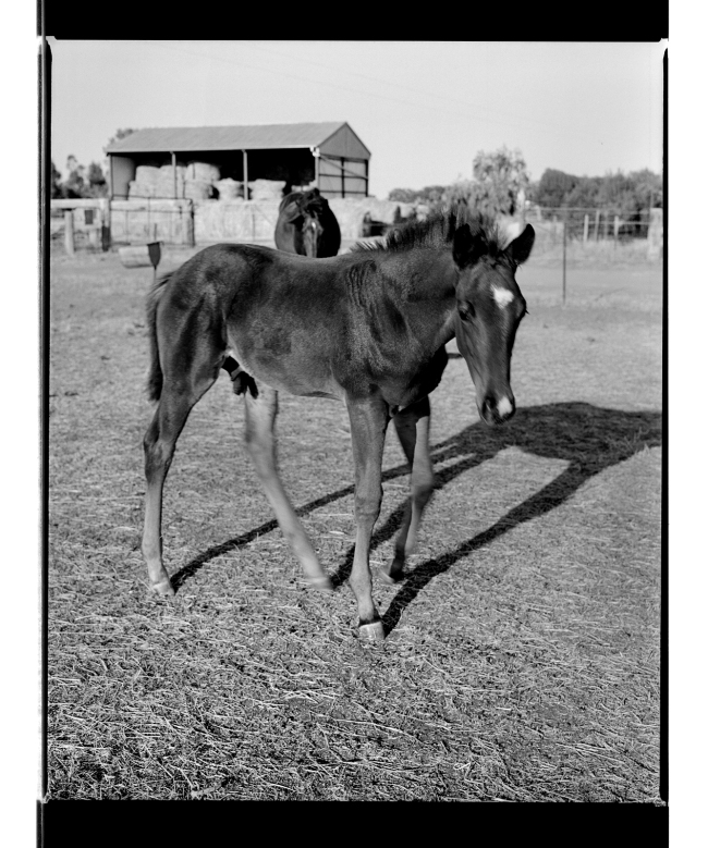 Marcus Bunyan. 'Foal' from 'Horses, sheep' 1994-95