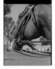 Marcus Bunyan. 'Bridle' from 'Horses, sheep' 1994-95