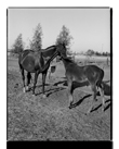 Marcus Bunyan. 'Mother, foal' from 'Horses, sheep' 1994-95