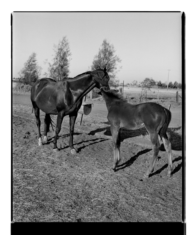 Marcus Bunyan. 'Mother, foal' from 'Horses, sheep' 1994-95