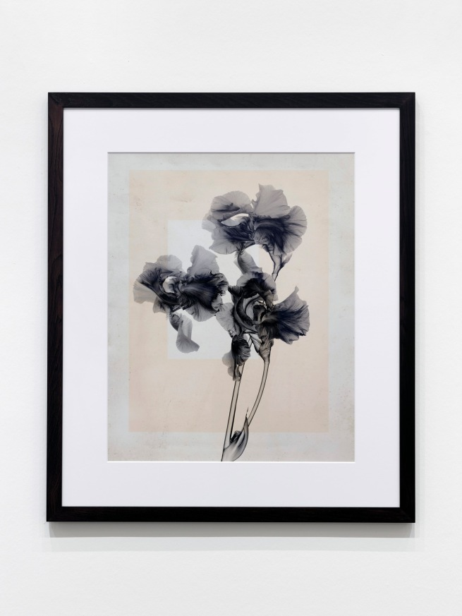 Thomas Ruff. Installation view K20, Kunstsammlung Nordrhein-Westfalen From series: 'flowers'