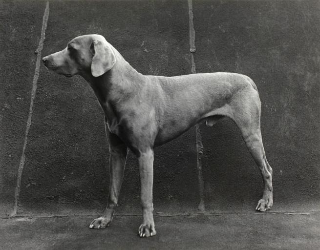 William Wegman (American, b. 1943) 'Untitled (Three Legged Dog)' 1974