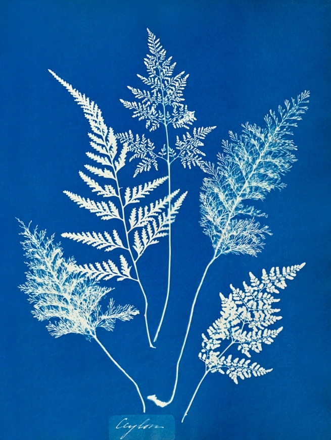 Anna Atkins (English, 1799-1871) 'Ceylon' c. 1850