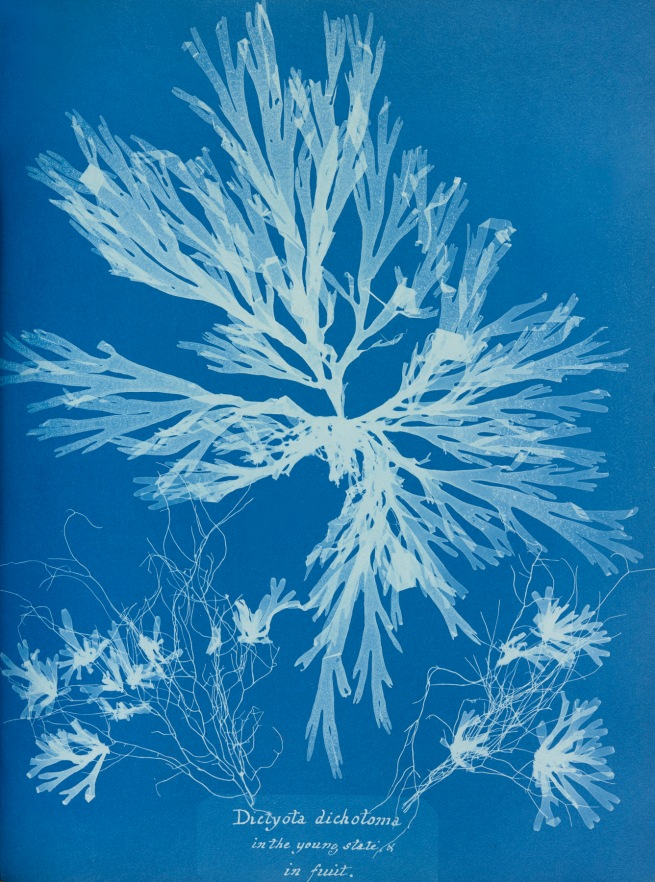 Anna Atkins (English, 1799-1871) 'Plate 55 – Dictyota dichotoma, in the young state and in fruit' 1853