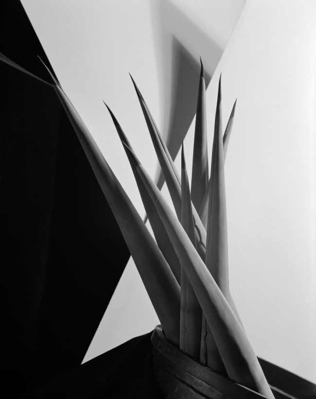 Imogen Cunningham (American, 1883-1976) 'Agave Design I' 1920s