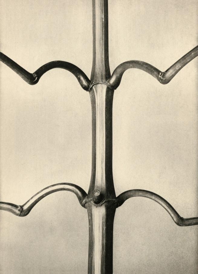 Karl Blossfeldt (1865-1932) 'Impatiens Glandulifera' 1928