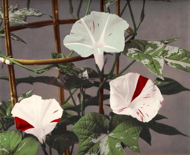 Ogawa Kazumasa (Japanese, 1860-1929) 'Morning Glory' c. 1894