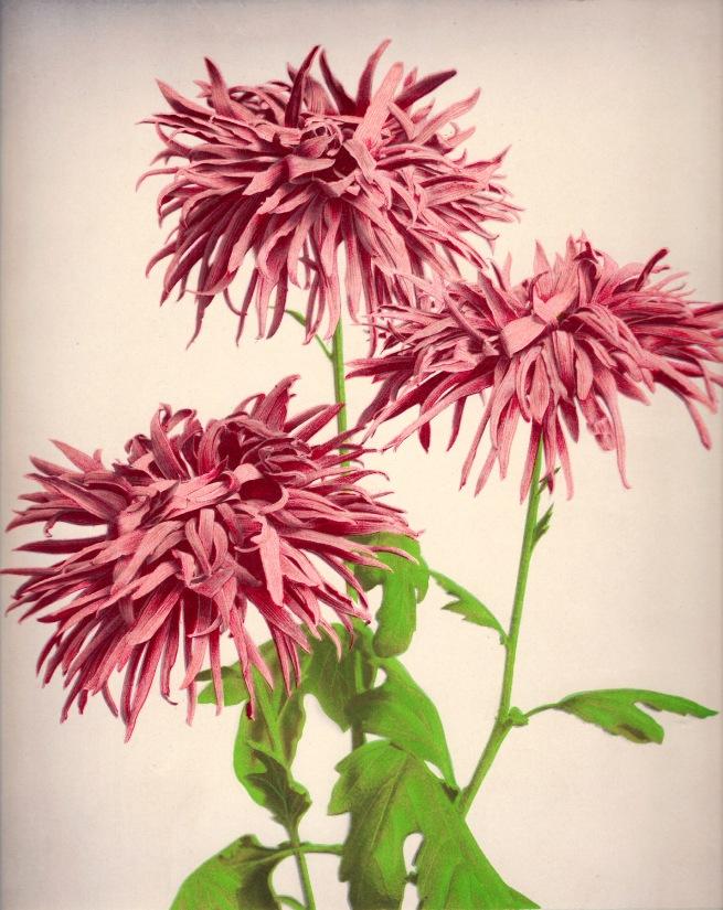 Ogawa Kazumasa (Japanese, 1860-1929) 'Chrysanthemum' c. 1894